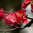 Quince blossoms — Stock Photo