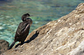Cormorant — Stock Photo