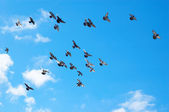 Flying pigeons — Stock Photo