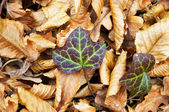 Autumn ivy — Stock Photo