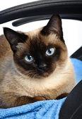 Siamese cat closeup — Stock Photo