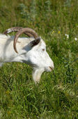 White goat grazing — Stock Photo