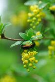 Golden cetonia bug — Stock Photo