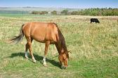 Betande häst och bull — Stockfoto