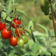 Small red and green cherry tomatoes - Stock Photo