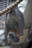 Bat close up — Stock Photo