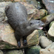 Otter on rocks — Stock Photo
