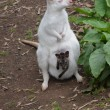 White wallaby & brown Joey - Stock Photo