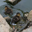 Chicks in pond — Stock Photo #7912484