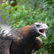 Wedge tailed eagle - Stock Photo