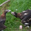 2 wedge tailed eagles — Stock Photo #7912895