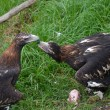 Stock Photo: 2 wedge tailed eagles