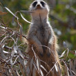 Meerkat on duty — Stock Photo
