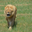 Stock Photo: Lion roar