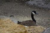 Canadian goose nesting — Stock Photo