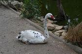 Black & white swan — Stock Photo