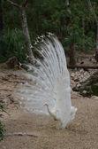 クジャクの羽を表示します。 — ストック写真