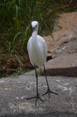 Small white egret — Stock Photo