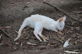 Wallaby albino — Foto de Stock