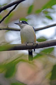 Forest kingfisher — Stock Photo