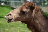 Camel laughing — Stock Photo
