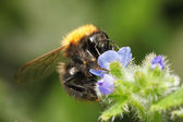 Bumblebee sucking honey out of blue flower — Stock Photo