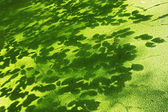 Lesser duckweed and shadows of leaves — Stock Photo