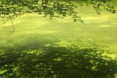 Małopolskie rzęsy z gałęzi drzewa bukowe — Zdjęcie stockowe