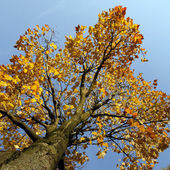 Maple tree in the fall — Stock Photo