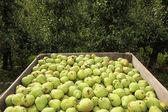 Gruszki w skrzyni i drzew owocowych pusty — Zdjęcie stockowe