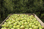 Pears in crate and empty fruit trees — Stock Photo