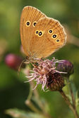 Ringlet butterfly on Thistle — Stock Photo