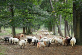 Sheep on forest road — Stock Photo