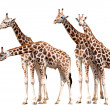 Herd of giraffes — Stock Photo #7824568