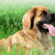 Leonberger - Stock Photo