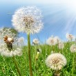 Dandelion — Stock Photo #7865371