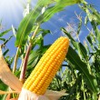 Corn field — Stock Photo #7865424