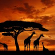 Herd of giraffes — Stock Photo #7865471