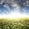 Field of daisies — Stock Photo #7865544