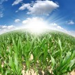 Royalty-Free Stock Photo: Corn field -fisheye view