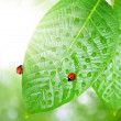 Dew and ladybug — Stock Photo