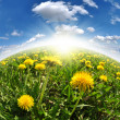Stock Photo: Dandelions in the meadow