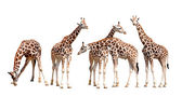 Giraffes isolated — Stock Photo