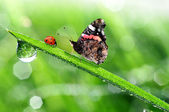 Dew with ladybird and butterfly — Stock Photo