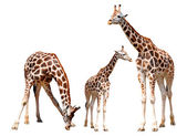 Zürafalar izole — Stok fotoğraf