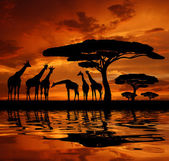 Gregge di giraffa — Foto Stock