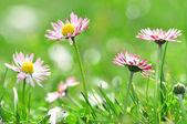 Daisy closeup — Stock Photo