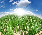 Corn field -fisheye view — Stock Photo