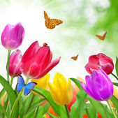 Colored Tulips with butterfly — Stock Photo
