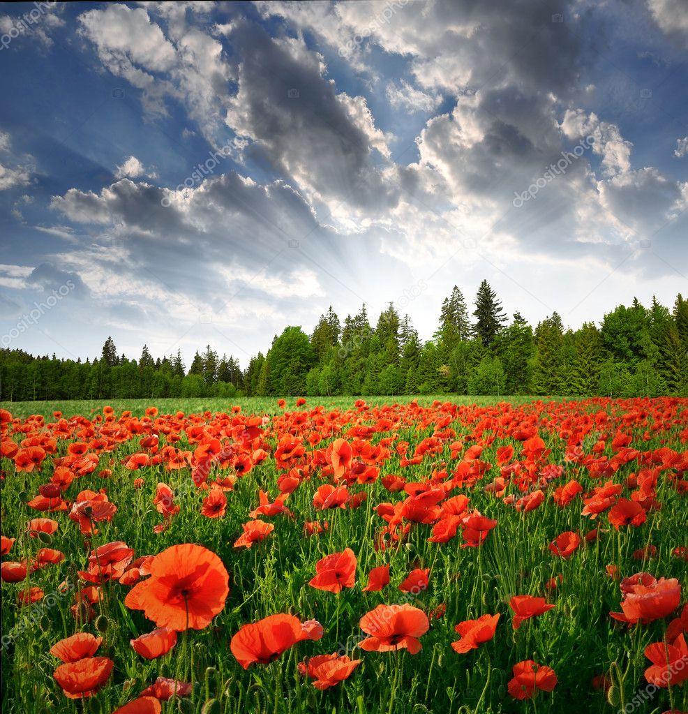 春天风景与红罂粟– 图库图片